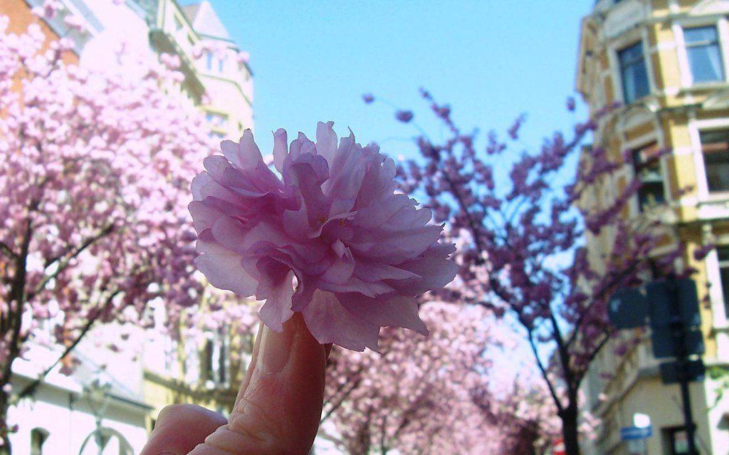 Cherry Blossom Avenue (Heerstrasse)